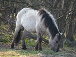 Vlaktepaard (Equus caballus gmelini)